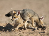 Cape Fox (Vulpes Chama) Cubs Playing, Kgalagadi Transfrontier Park, Northern Cape, South Africa Photographic Print by Ann & Steve Toon