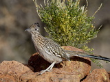 Greater Roadrunner (Geococcyx Californianus), the Pond, Amado, Arizona, USA Photographic Print by James Hager