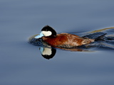 Male Ruddy Duck (Oxyura Jamaicensis) Swimming, Sweetwater Wetlands, Tucson, Arizona, USA Photographic Print by James Hager