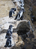 Galapagos Penguins (Spheniscus Mendiculus), Isla Isabela, Galapagos Islands, Ecuador Fotodruck von Christian Kober