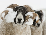 Northumberland Blackface Sheep in Snow, Tarset, Hexham, Northumberland, England, United Kingdom Photographic Print by Ann & Steve Toon