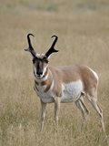 Pronghorn (Antilocapra Americana) Buck, Custer State Park, South Dakota, USA Photographic Print by James Hager