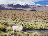 Llama in the Altiplano, Bolivia, South America Photographic Print by Christian Kober