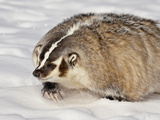 Badger (Taxidea Taxus) in the Snow, in Captivity, Near Bozeman, Montana, USA Photographic Print by James Hager