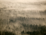 Aerial of Douglas Fir Trees in Morning Fog, Washington State, USA Photographic Print by Colin Brynn