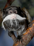 Emperor Tamarin (Saguinus Imperator) in Captivity, Denver Zoo, Denver, Colorado, USA Photographic Print by James Hager