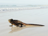 Marine Iguana (Amblyrhynchus Cristatus), Turtle Bay, Isla Santa Cruz, Galapagos Islands, Ecuador Photographic Print by Christian Kober