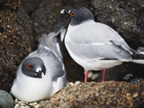 Swallow Tailed Gull (Creagrus Furcatus), Isla Genovesa, Galapagos Islands, Ecuador Photographic Print by Christian Kober