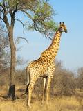 Giraffe (Giraffa Camelopardalis), Kapama Game Reserve, South Africa, Africa Fotografie-Druck von Sergio Pitamitz