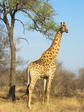 Giraffe (Giraffa Camelopardalis), Kapama Game Reserve, South Africa, Africa Photographic Print by Sergio Pitamitz