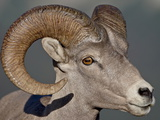 Bighorn Sheep (Ovis Canadensis) Ram, Glacier National Park, Montana Photographic Print by James Hager
