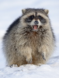 Raccoon (Procyon Lotor) in the Snow, in Captivity, Near Bozeman, Montana, USA Photographic Print by James Hager