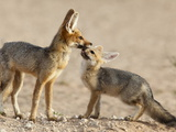 Cape Fox With Cub (Vulpes Chama), Kgalagadi Transfrontier Park, Northern Cape, South Africa, Africa Photographic Print by Ann & Steve Toon