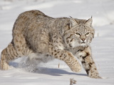 Bobcat (Lynx Rufus) in the Snow, in Captivity, Near Bozeman, Montana, USA Photographic Print by James Hager