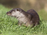 Otter (Lutra Lutra) in Captivity, Uk Photographic Print by Ann & Steve Toon