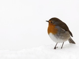 Robin (Erithacus Rubecula), in Snow, Uk Photographic Print by Ann & Steve Toon