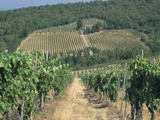 Vineyards, Chianti, Tuscany, Italy, Europe Photographic Print by Sergio Pitamitz