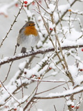 Robin (Erithacus Rubecula), With Berries in Snow, Uk Photographic Print by Ann & Steve Toon