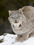 Canadian Lynx (Lynx Canadensis) in the Snow, in Captivity, Near Bozeman, Montana, USA Photographic Print by James Hager
