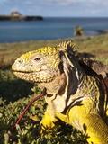 Galapagos Land Iguana (Conolophus Subcristatus), Islas Plaza (Lplaza Island), Galapagos Islands Photographic Print by Michael DeFreitas