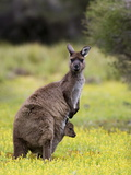 Kangaroo Island Grey Kangaroo (Macropus Fuliginosus), Flinders Chase National Park, Australia Photographic Print by Thorsten Milse