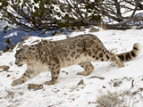 Snow Leopard (Uncia Uncia) in the Snow, in Captivity, Near Bozeman, Montana, USA Lámina fotográfica por James Hager