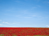 Field of Poppies (Papaver Hoeas), Near Barrasford, Northumberland, England, Uk Photographic Print by Ann & Steve Toon