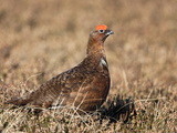 Red Grouse (Lagopus Lagopus), Male, in Heather, County Durham, England, United Kingdom, Europe Photographic Print by Ann & Steve Toon