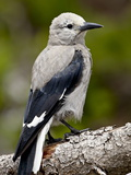 Clark's Nutcracker (Nucifraga Columbiana), Manning Provincial Park, British Columbia, Canada Photographic Print by James Hager