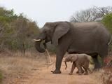 Elephant (Loxodonta Africana), Kapama Game Reserve, South Africa, Africa Photographic Print by Sergio Pitamitz