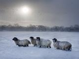 Northumberland Blackface Sheep in Snow, Tarset, Hexham, Northumberland, England, United Kingdom Fotoprint van Ann & Steve Toon