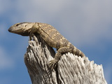 Rock Monitor (Varanus Albigularis), Etosha National Park, Namibia, Africa Photographic Print by Ann & Steve Toon