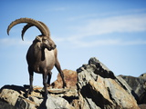 Ibex (Capra Ibex), on Lower Slopes of Mont Blanc, Chamonix, French Alps, France, Europe Photographic Print by Christian Kober