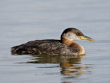 Red-Necked Grebe (Podiceps Grisegena), Wasilla, Alaska, United States of America, North America Photographie par James Hager