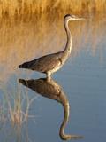 Grey Heron (Ardea Cinerea), Etosha National Park, Namibia, Africa Photographic Print by Ann & Steve Toon