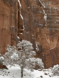 Fresh Snow on a Red Rock Cliff and Tree, Zion National Park, Utah, USA Photographic Print by James Hager