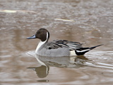 Northern Pintail (Anas Acuta), Bosque Del Apache National Wildlife Refuge, New Mexico, USA Photographic Print by James Hager