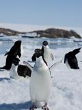 Adelie Penguins (Pygoscelis Adeliae), Dumont D'Urville, Antarctica, Polar Regions Photographic Print