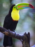 Keel-Billed Toucan (Ramphastos Sulfuratus), Summit Botanical Gardens and Zoo, Panama City, Panama Impressão fotográfica por Christian Kober
