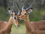 Impala (Aepyceros Melampus), Males Allogrooming, Kruger National Park, Mpumalanga, South Africa Photographic Print by Ann & Steve Toon