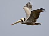 Brown Pelican (Pelecanus Occidentalis) in Flight in Partial Breeding Plumage, Salton Sea, CA Photographic Print by James Hager