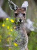 Western Gray Kangaroo (Macropus Fuliginosus), Yanchep National Park, West Australia Photographic Print