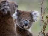 Koala (Phascolarctos Cinereus), in a Eucalyptus Tree, Yanchep National Park, Australia Photographic Print by Thorsten Milse