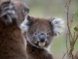 Koala (Phascolarctos Cinereus), in a Eucalyptus Tree, Yanchep National Park, Australia Photographic Print by Thorsten Milse