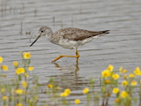 Greater Yellowlegs (Tringa Melanoleuca), San Jacinto Wildlife Area, California, USA Photographic Print