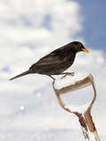 Blackbird (Turdus Merula), on Garden Spade, in Snow, Northumberland, England, Uk Photographic Print by Ann & Steve Toon