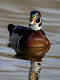 Wood Duck (Aix Sponsa) Drake Swimming, Sterne Park, Littleton, Colorado Photographic Print