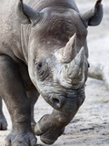 Black Rhino, South Africa, Africa Photographic Print by Ann & Steve Toon