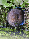 Water Vole (Arvicola Terrestris) in Captivity, United Kingdom, Europe Photographic Print by Ann & Steve Toon
