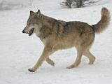 Gray Wolf (Canis Lupus) Running in the Snow in Captivity, Near Bozeman, Montana Photographic Print
